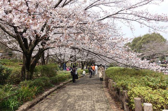祖師谷公園 桜 見頃