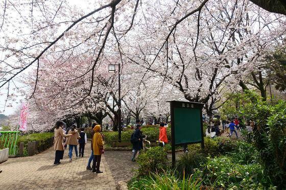 祖師谷公園 里帰りの桜