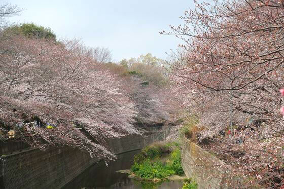 祖師谷公園 桜