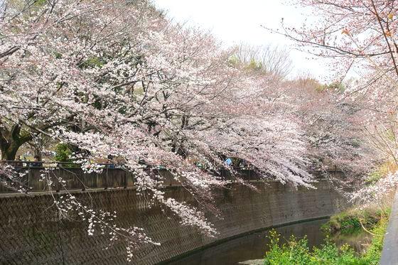 祖師谷公園 ワシントン桜
