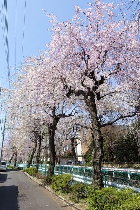 小手指 枝垂れ桜