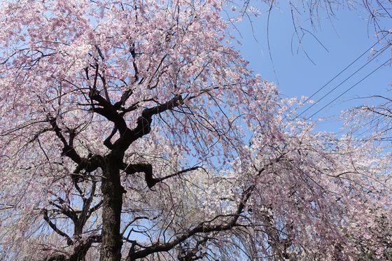 砂川堀 枝垂れ桜