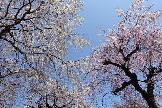所沢市 しだれ桜