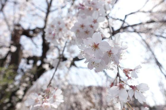 砂川堀 桜 開花状況