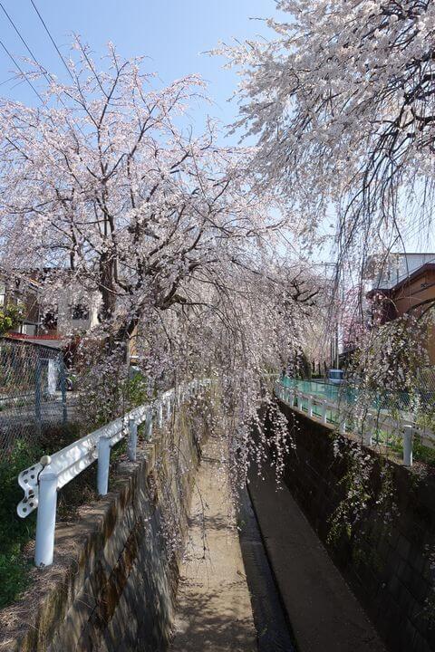 砂川堀 しだれ桜