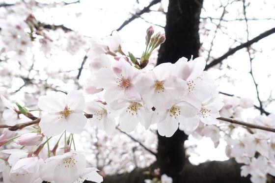 東宝スタジオ 桜 開花状況
