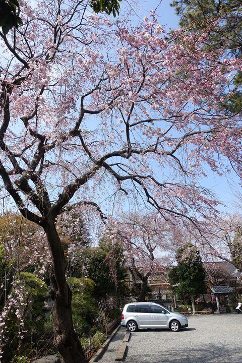 東覚院 世田谷 しだれ桜
