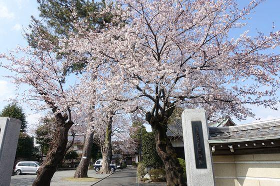 東覚院 桜