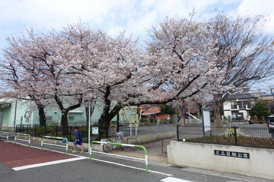 葭根公園 桜