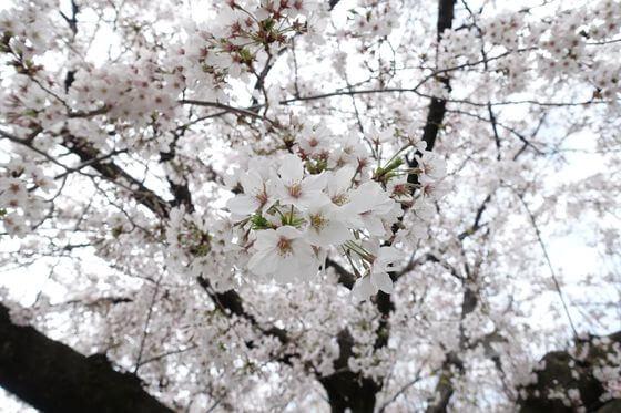 葭根公園 お花見