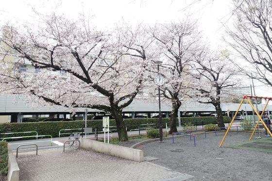 葭根公園 世田谷 桜