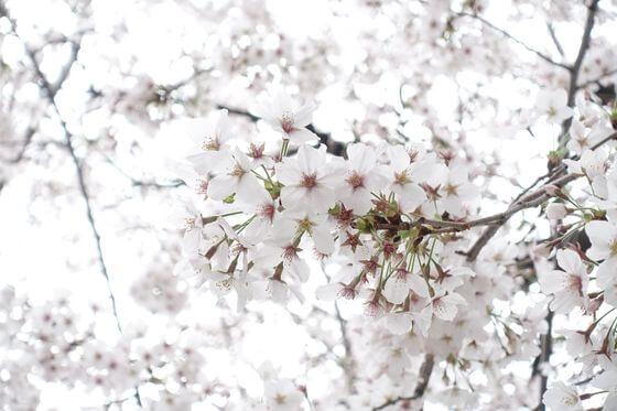 葭根公園 桜 見頃