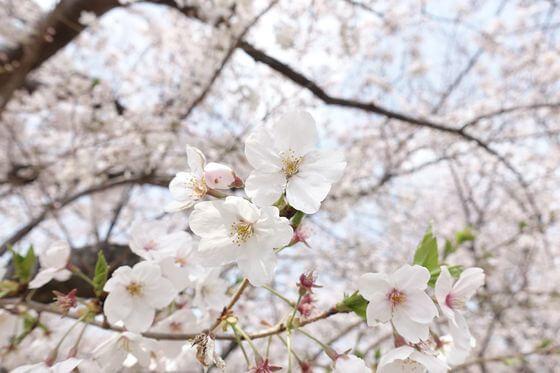 荒川赤羽桜堤緑地 桜 開花状況