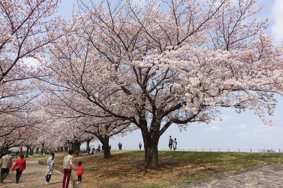 荒川赤羽桜堤緑地 お花見