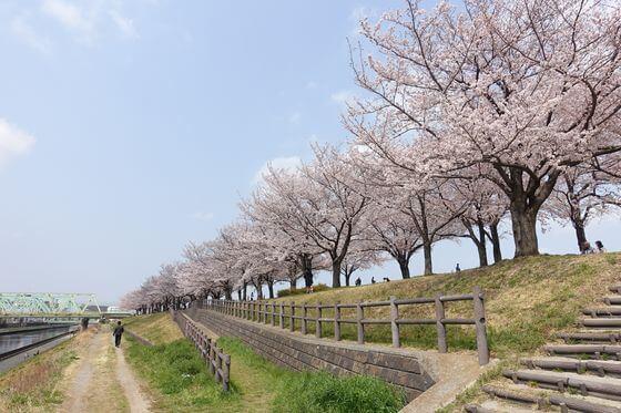 荒川赤羽桜堤緑地 桜
