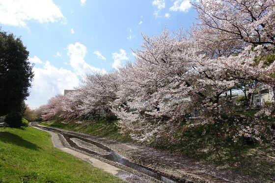 新開橋 桜
