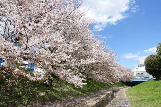 江川せせらぎ緑道 桜