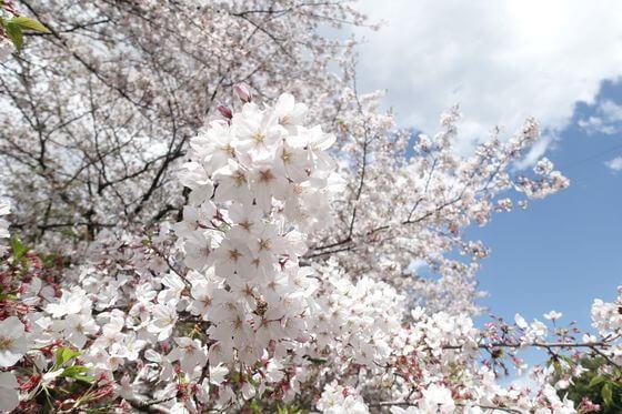 江川せせらぎ緑道 桜 開花状況