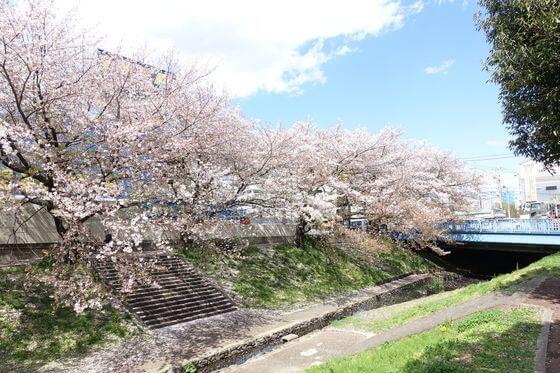 都筑区 桜