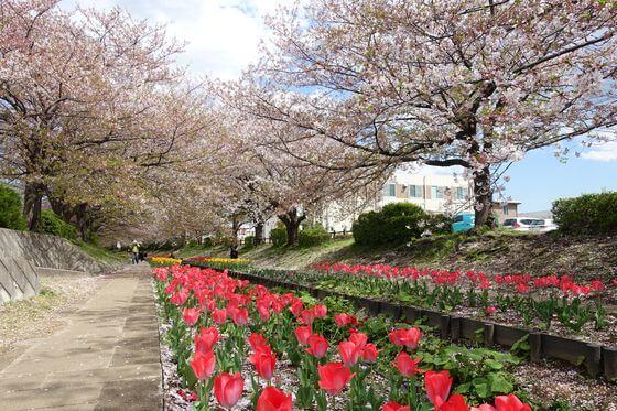 江川せせらぎ緑道 桜 チューリップ