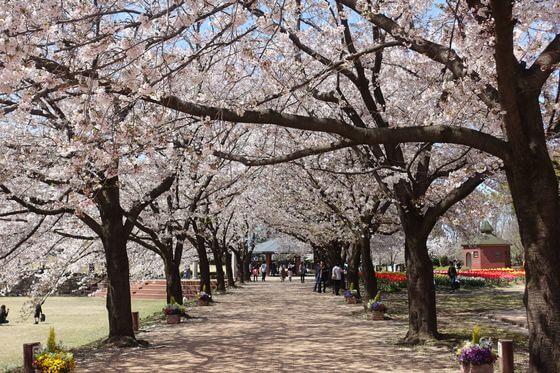 深谷グリーンパーク 桜