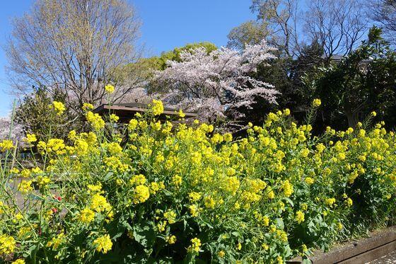 福生南公園 菜の花