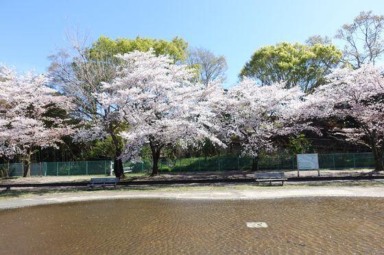 福生南公園 お花見