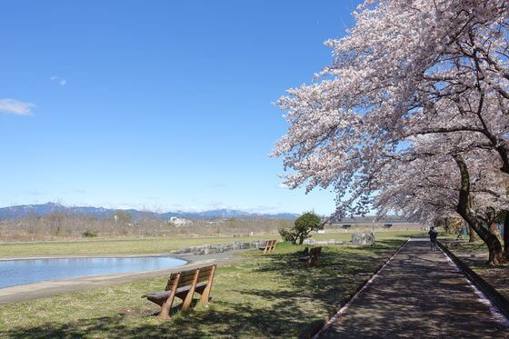 福生南公園 桜