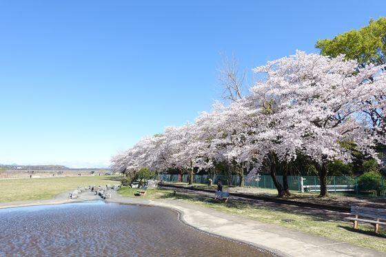 福生南公園 じゃぶじゃぶ池 桜