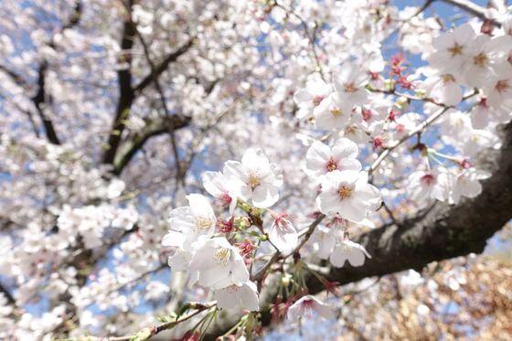 福生南公園 桜 開花状況