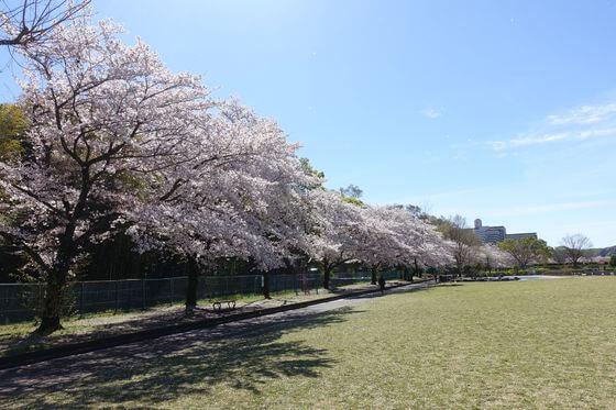 福生南公園 桜 見頃
