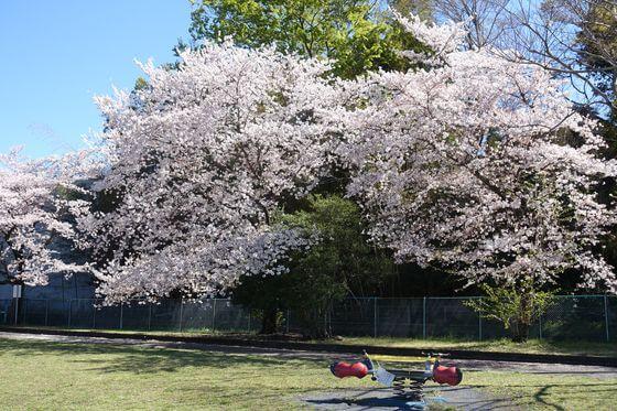 福生南公園 おひさま広場 桜