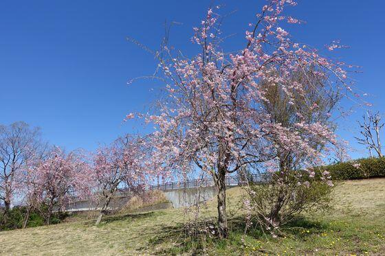 福生南公園 枝垂れ桜