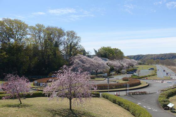 睦橋 多摩川 桜
