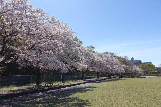 福生南公園 桜並木