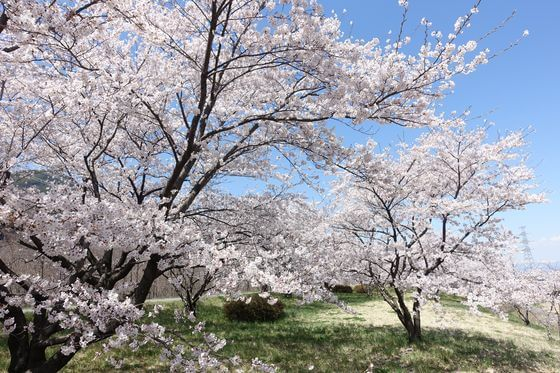 上田市 桜 穴場