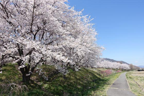 西上田駅 桜