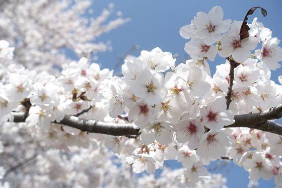 西上田駅 桜並木
