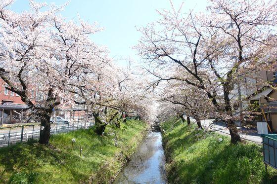 唐沢川の桜堤
