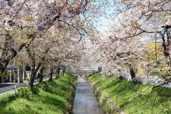 唐沢川 桜並木