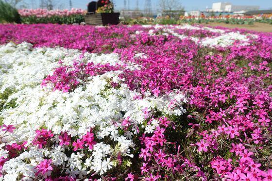 鴻巣 花のオアシス 芝桜
