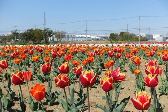 花のオアシス チューリップ