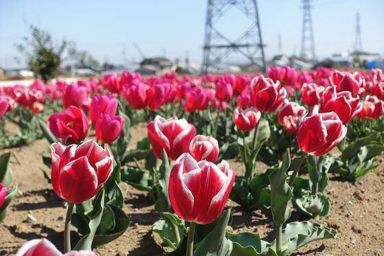 花のオアシス チューリップ畑