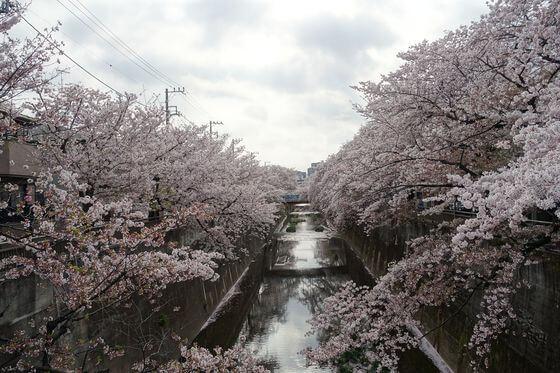 中板橋 桜