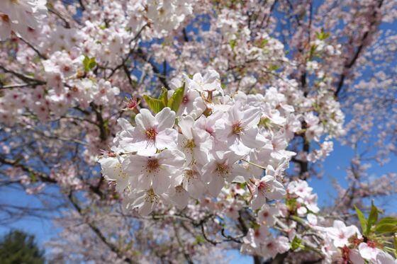 猿橋公園 桜 開花状況