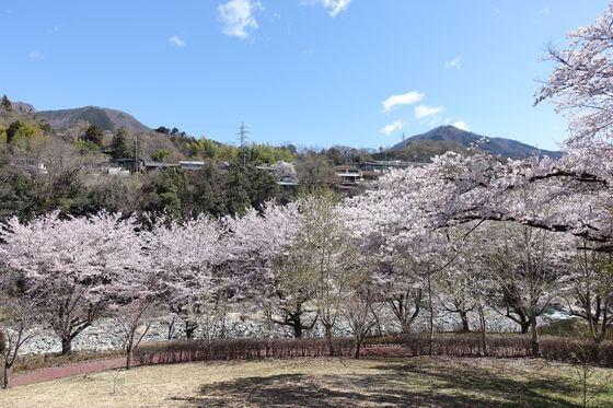猿橋公園 桜