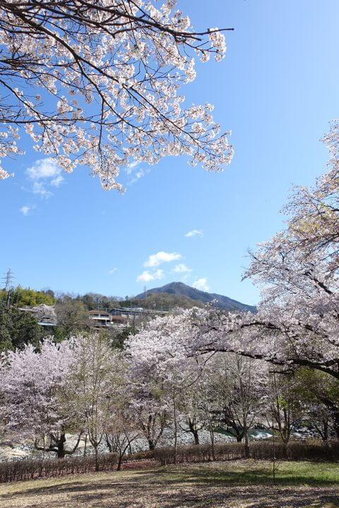 猿橋近隣公園 桜