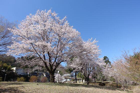 猿橋公園 桜 見頃