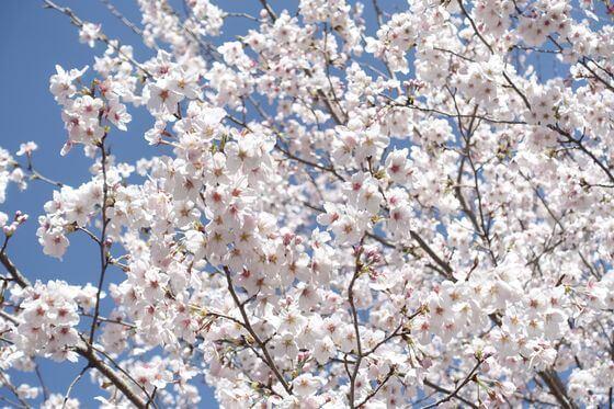 猿橋近隣公園 桜 満開
