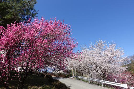 猿橋公園 花桃